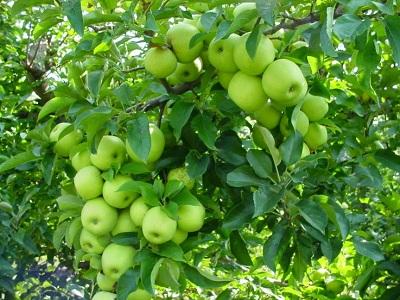 Manfaat Menakjubkan dari Buah Apel Hijau